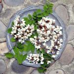 acacia flowers provence