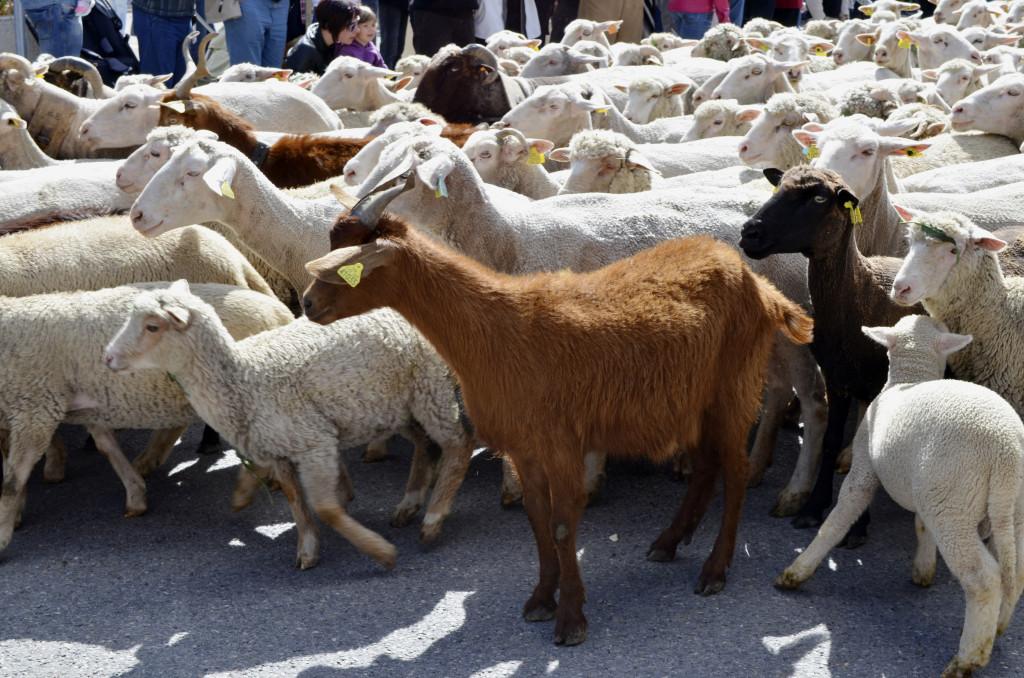 goats at senas