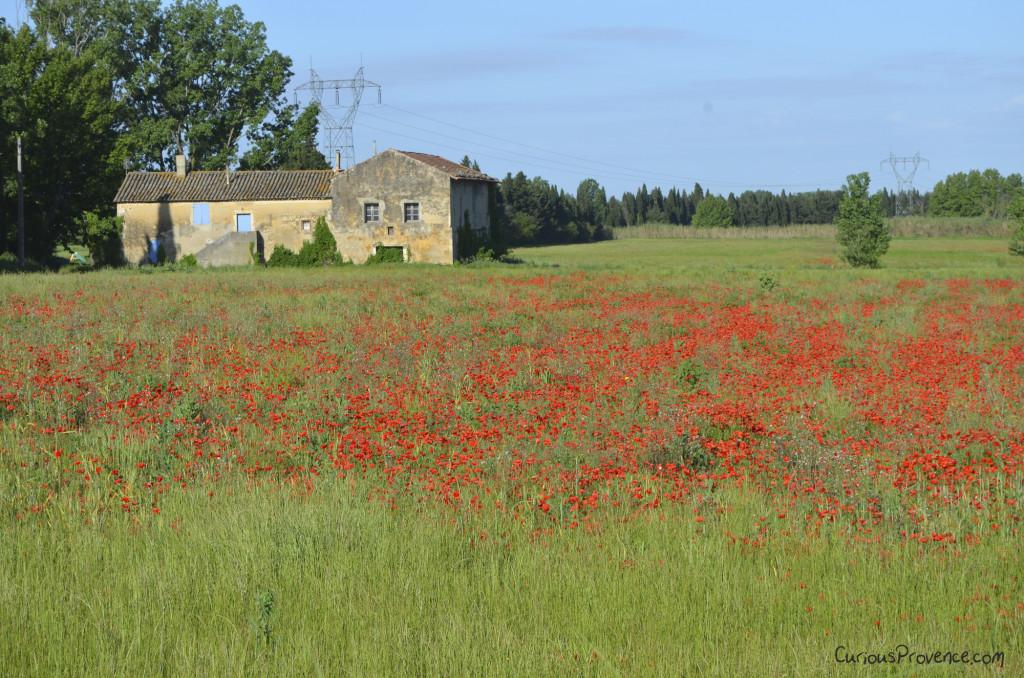 poppy field provence
