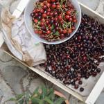 griotte cherries cerises provence