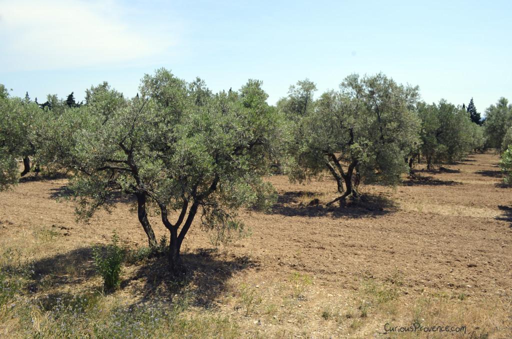 olive grove provence alpilles