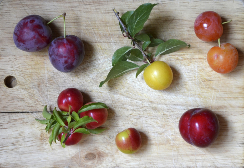 wild plums provence