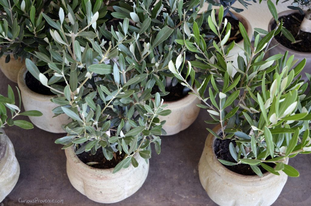 small olive trees provence