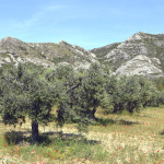 les alpilles oliviers
