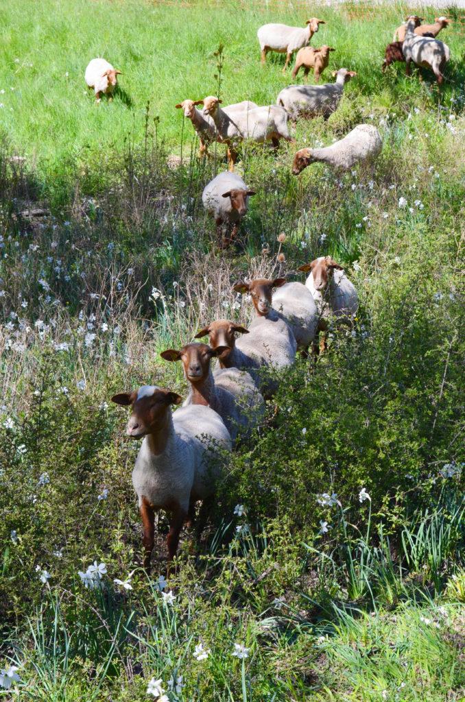 sheep provence