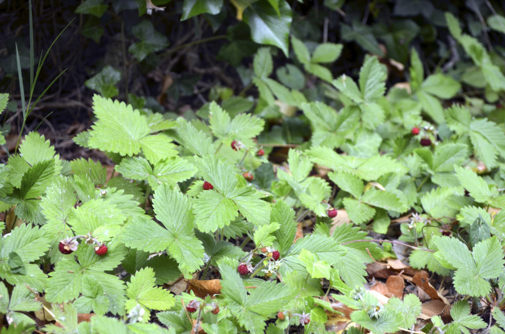 foraging for strawberries
