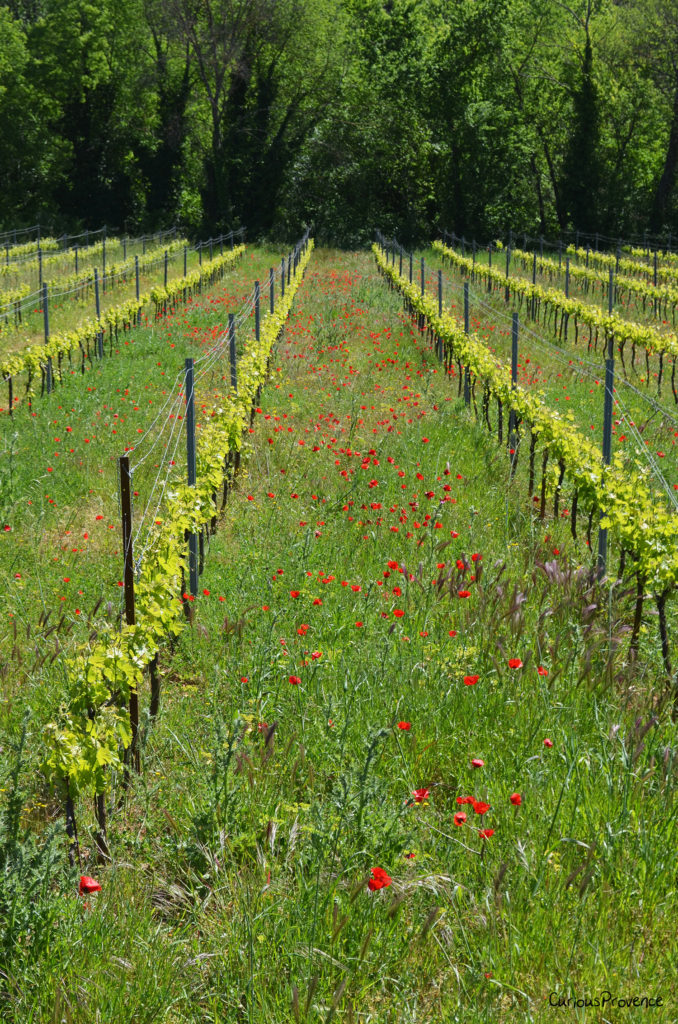 poppies in vineyard