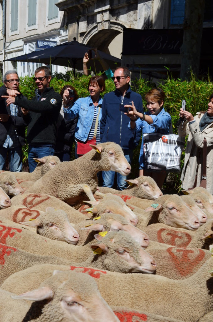 sheep transhumance