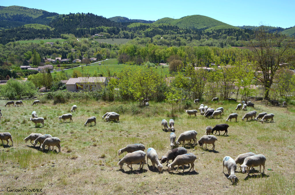sheep forcalquier