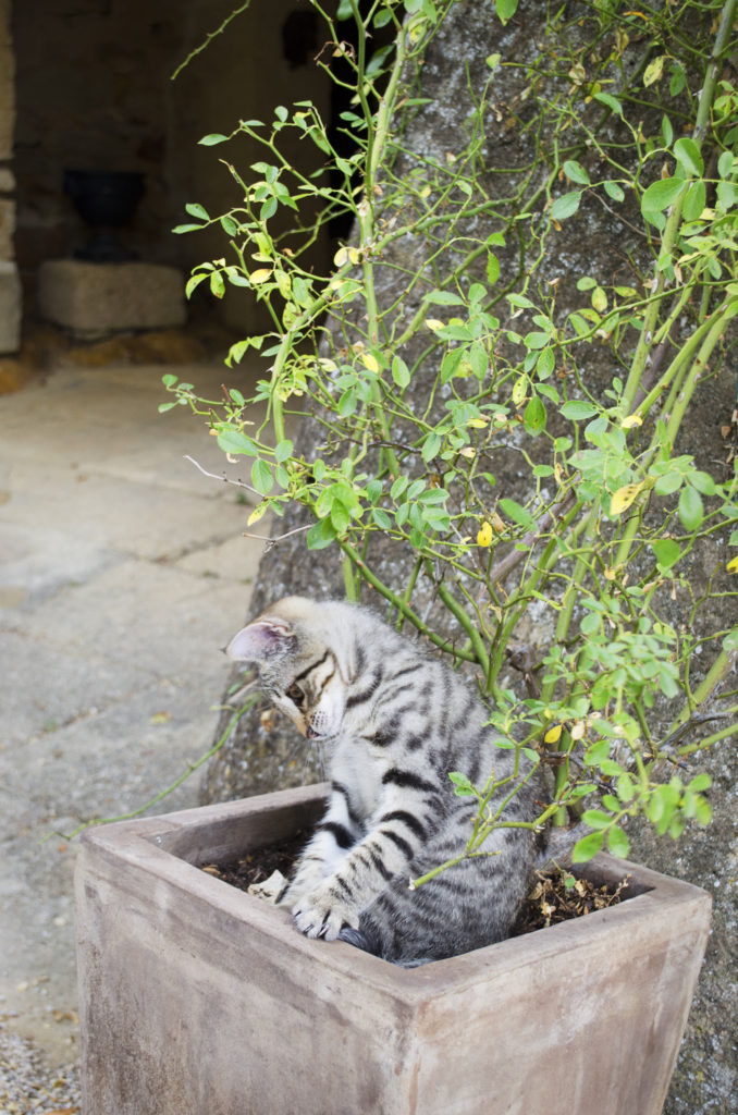kitten mas d'augustine