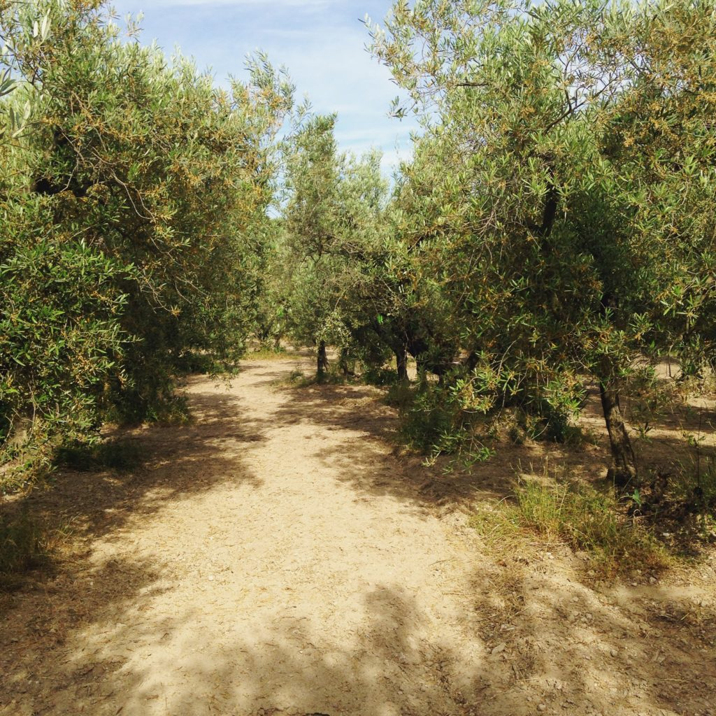 olive orchard curious provence