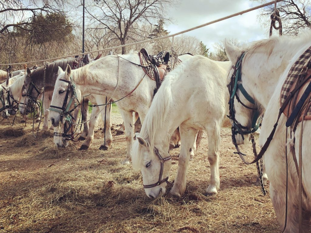camargue horses curious provence