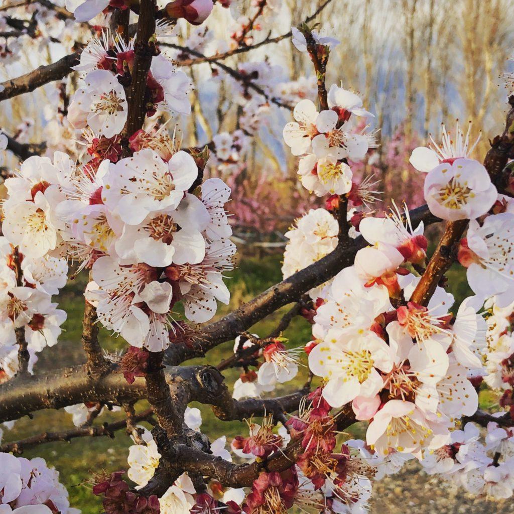 fruit blossom curious provence