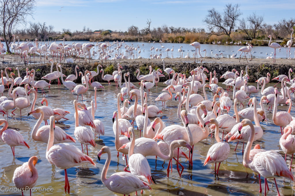 flamingoes in provence