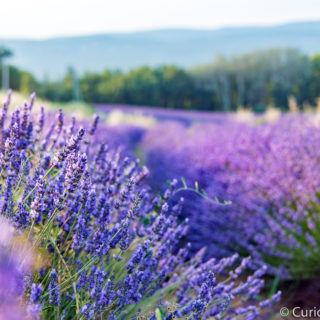 lavender fields curiousprovence