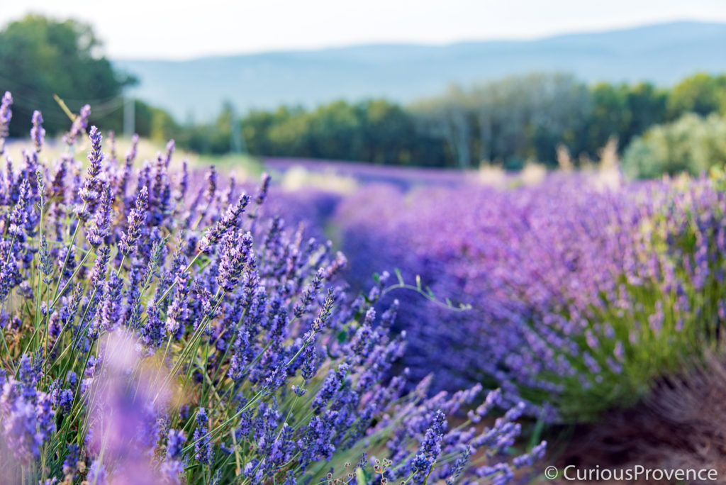 LavenderFieldProvence curiousprovence