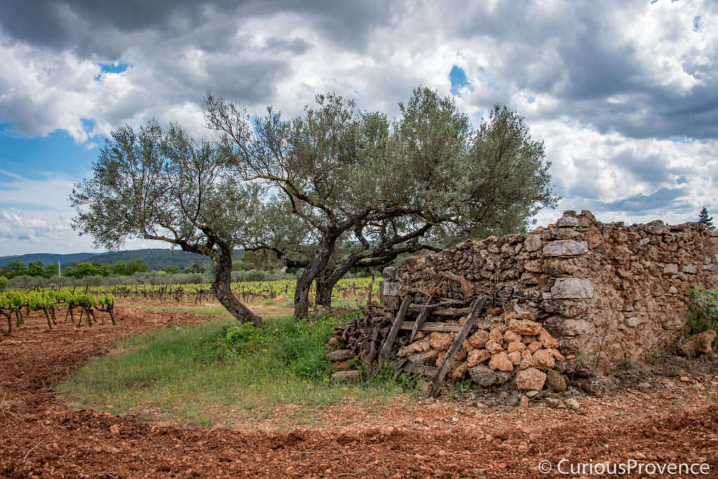 Olive tree provence curiousprovence