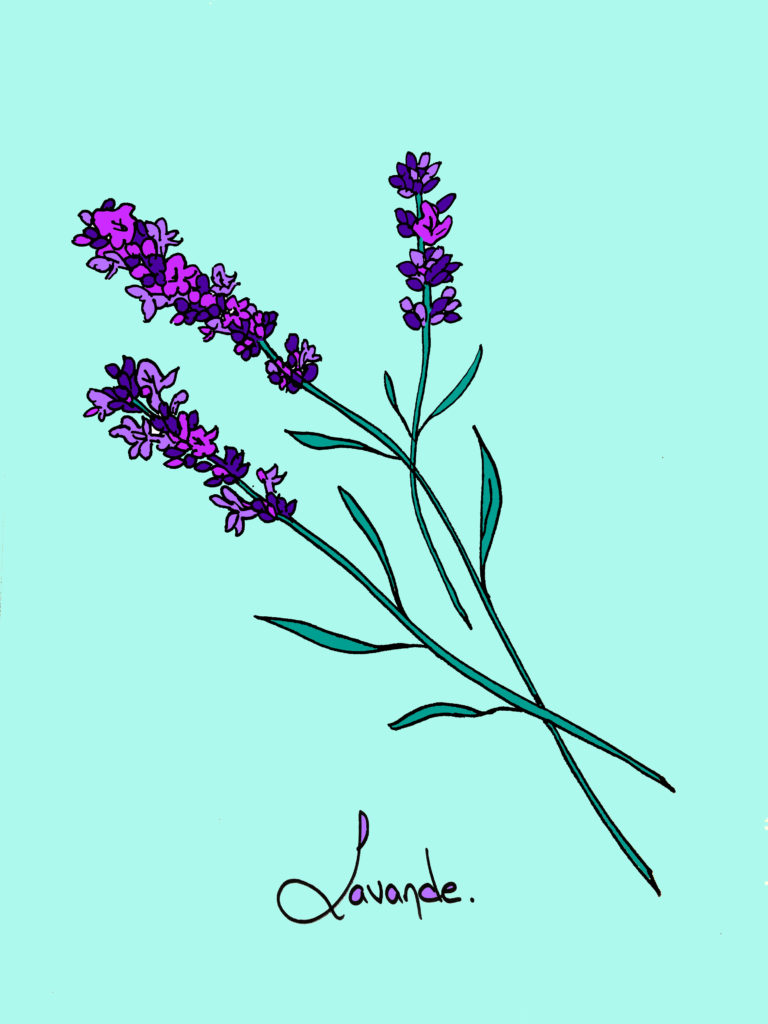 Lavender drawing by curiousprovence stickers.