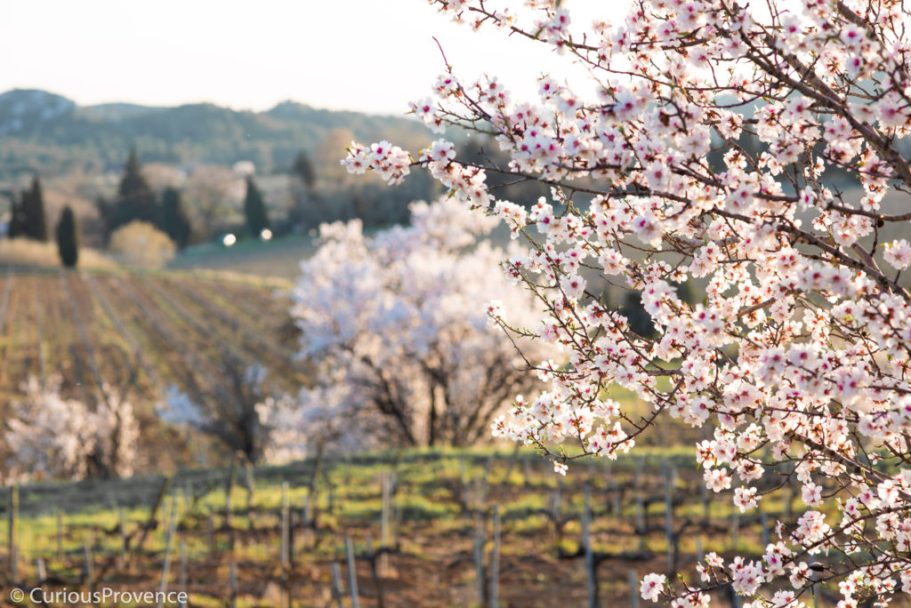 almond blossom provence by curiousprovence