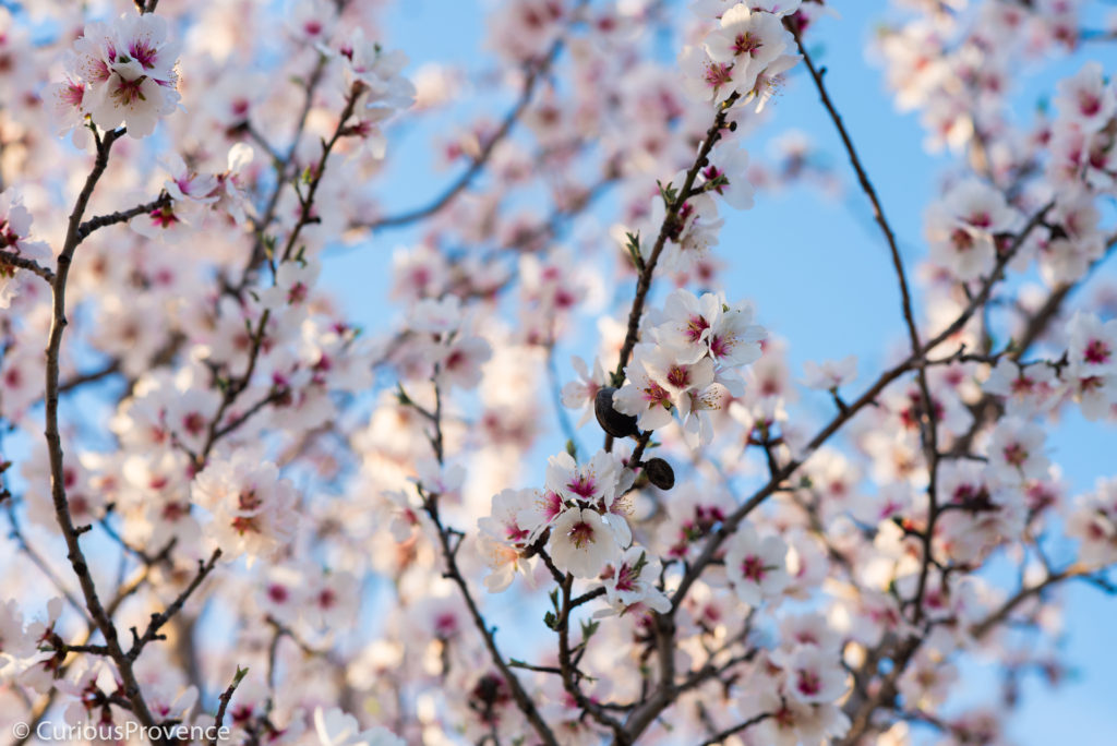 February almond tree blossoms in Provence bu curiousprovence