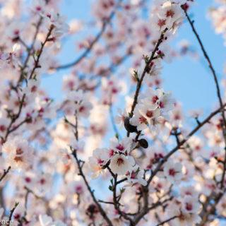 almond blossom curiousprovence