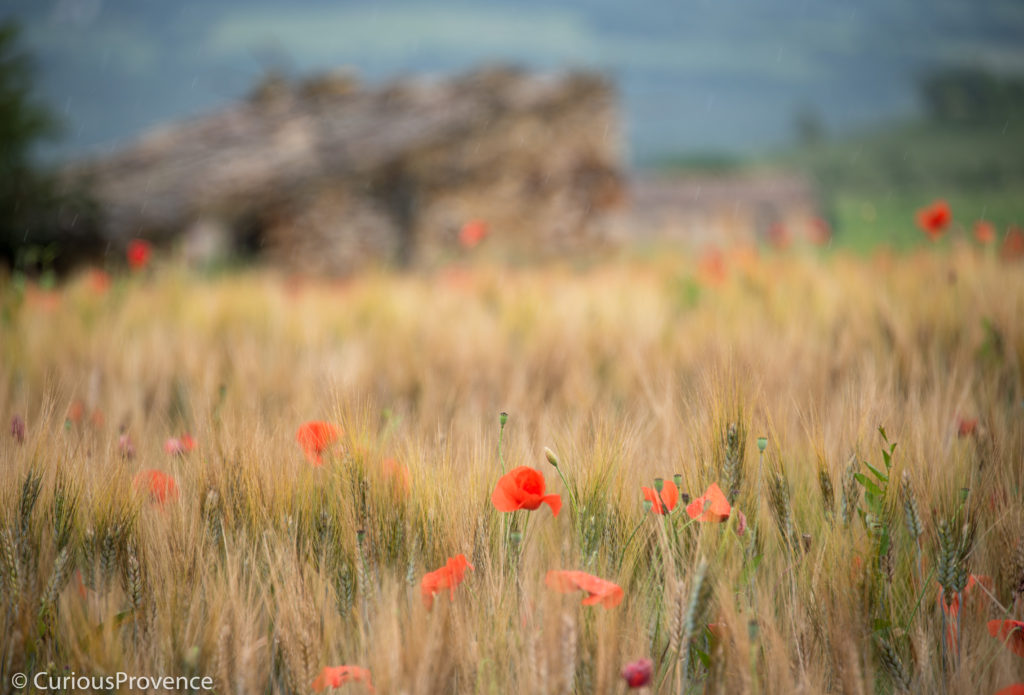 May in Provence by Curiousprovence poppies